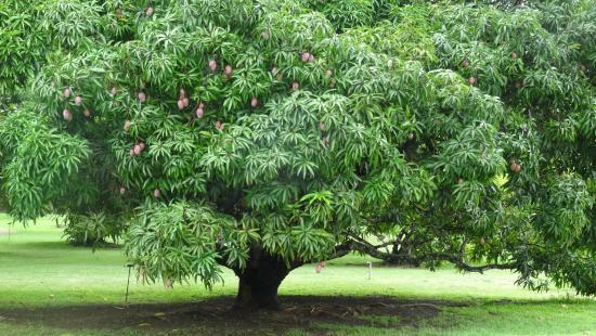 درخت انبه ۱۵۰ ساله